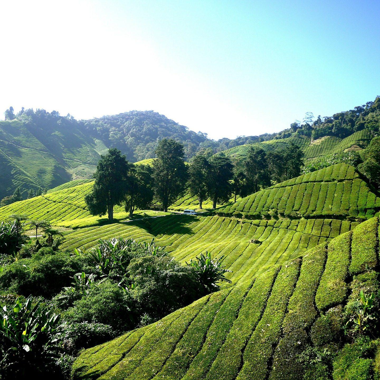tea-plantation-261515_1920
